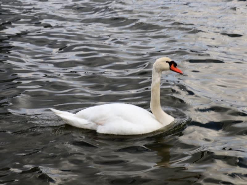 鳥の楽園;宍道湖・・・・こんな所にコブハクチョウが。。。~ - タカちゃんの絵日記