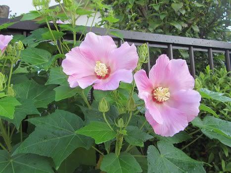 四季芙蓉_芙蓉の花の魅力 - ぶな太の四季折々