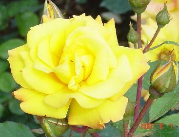 黄色いバラの花言葉 三坊山羊