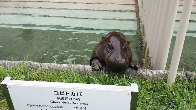 コビトカバ 動物園