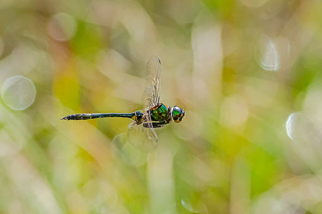 エゾトンボ(静止飛翔)の写真