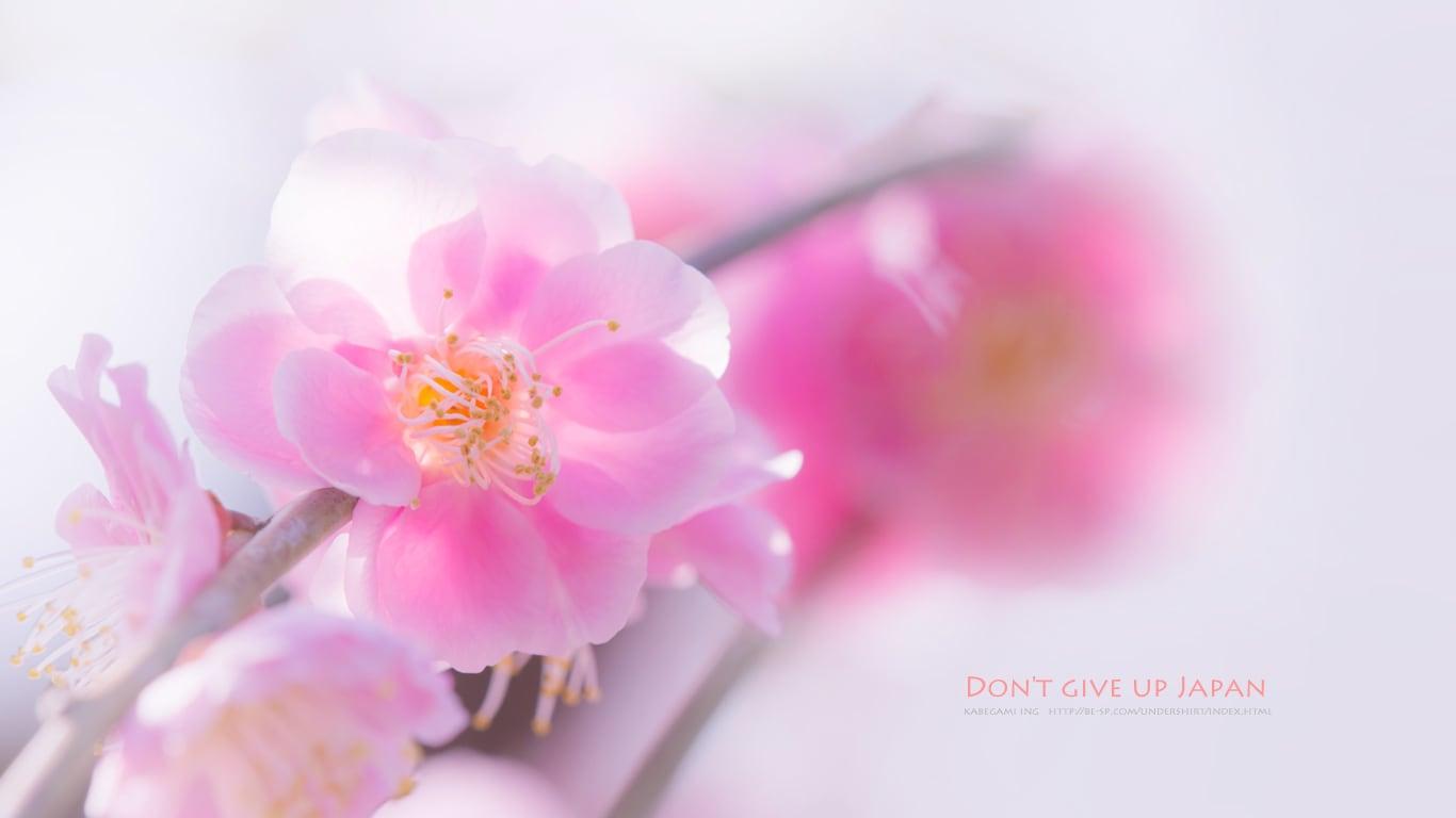 梅の花 壁紙ing管理人の写真ブログ