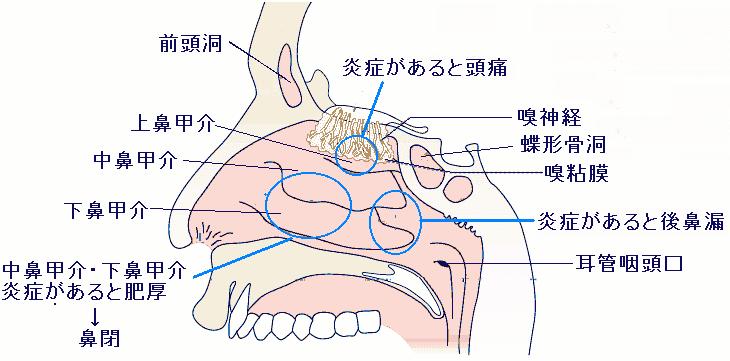 ツーン 頭痛 が 鼻 する の と 奥