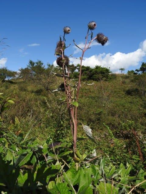 高ボッチ高原・鉢伏山で最近咲いている花 ハバヤマボクチ(葉場山火口)
