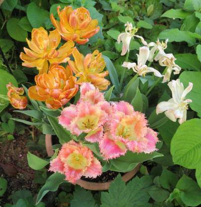 珍しい チューリップ の寄せ植え鉢