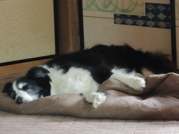 Resultado de imagen para 犬 border collie ベッド