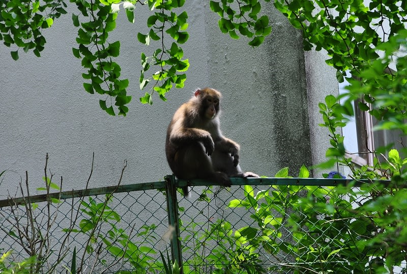 国栖小学校跡の猿