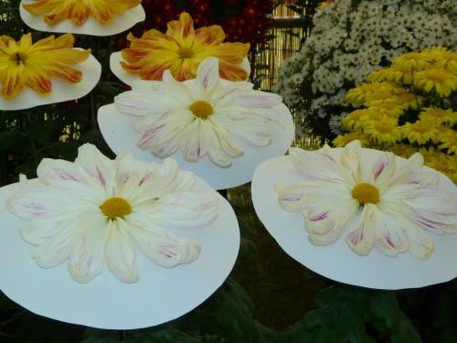 第50回国宝松本城菊花展 一文字菊と呼ばれる花