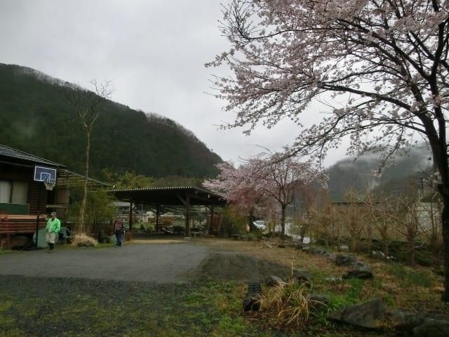 桜ほぼ満開