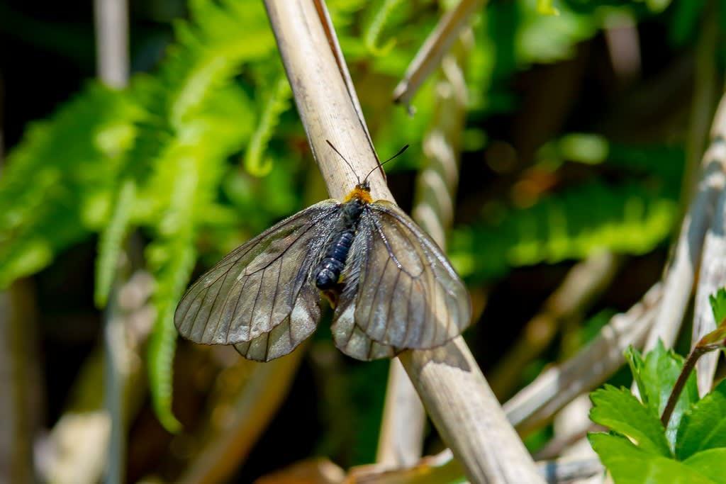 ウスバシロチョウ黒化型の写真