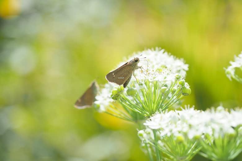 イチモンジセセリとニラの花