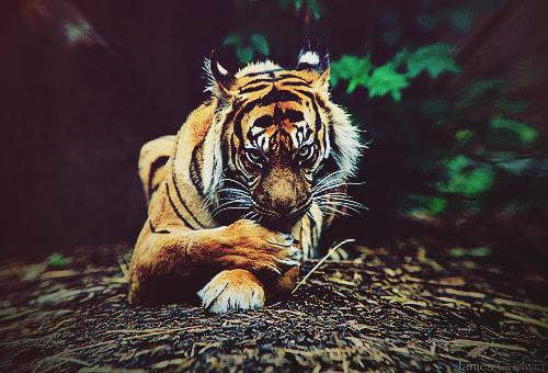 爪かじりトラ