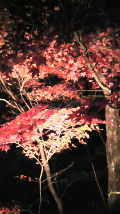 山中湖は紅葉まっ盛り!