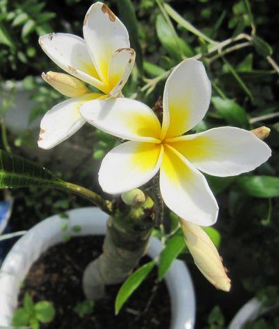 プルメリア、南国の花なのに咲くんですね