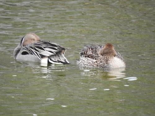 松本城で見た鳥 オナガガモ(尾長鴨)の番