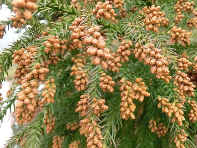 杉花粉の素