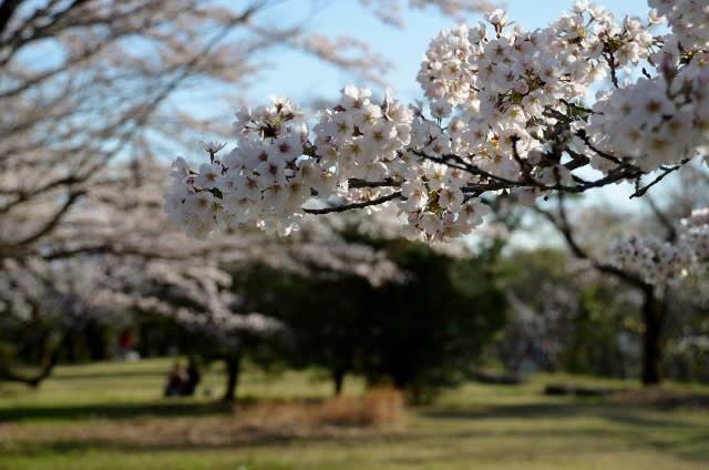 多摩湖 狭山湖 桜 開花情報 2017