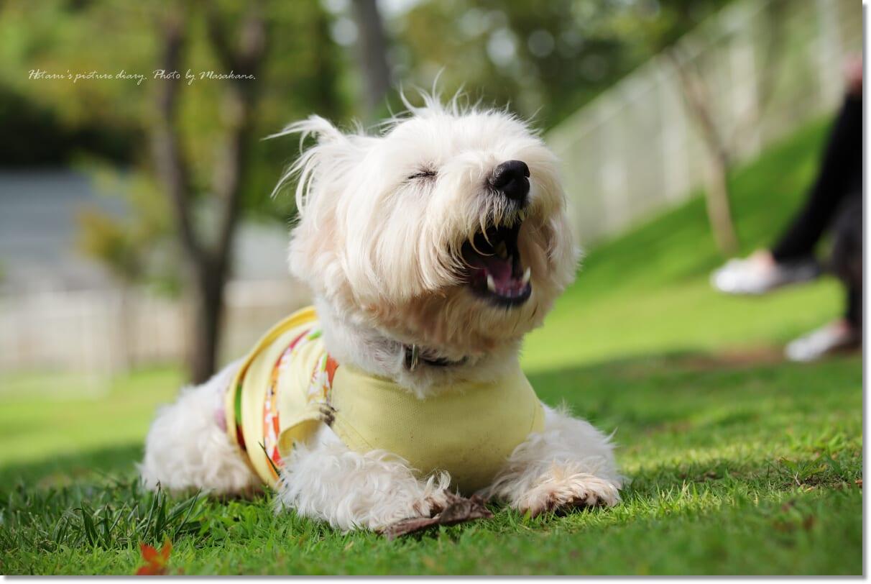 Resultado de imagen para 犬 westie あくび