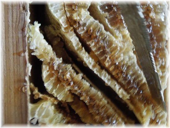 日本ミツバチの蜂蜜採蜜 2014年8月31日