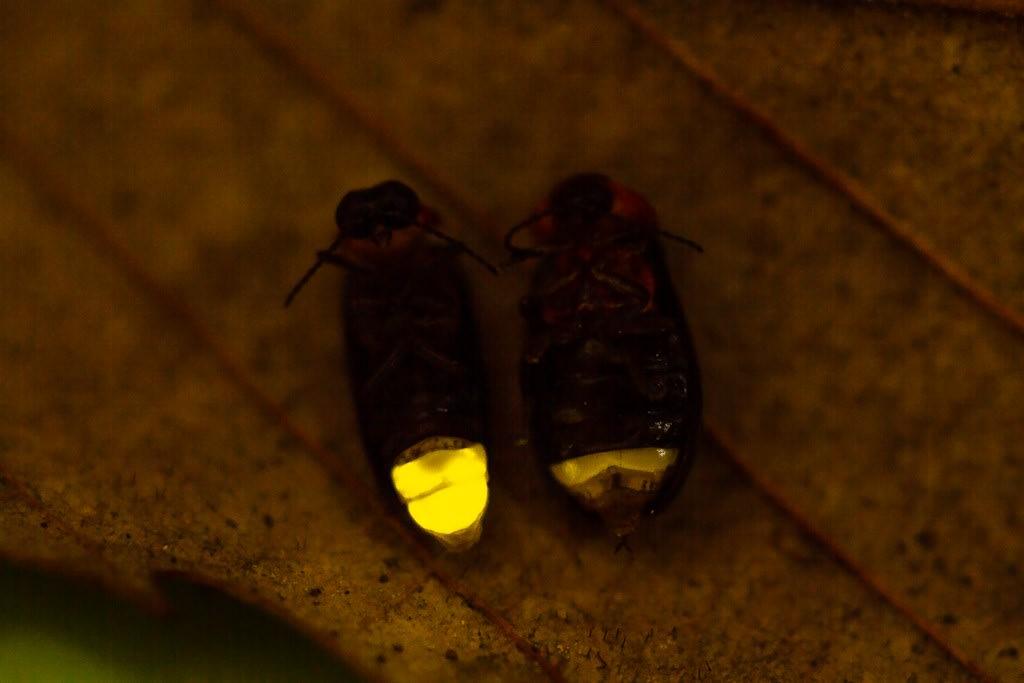 ヒメボタルの発光写真