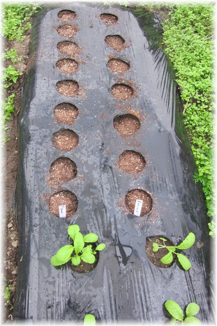 セブンアールと味美菜の種蒔き 2010年10月31日