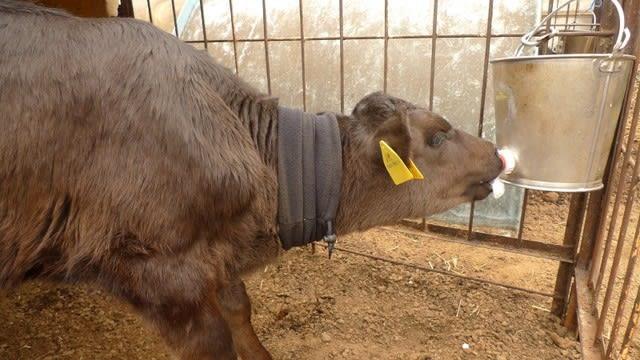赤ちゃん子牛にネックウォーマー ますたあの遊び部屋