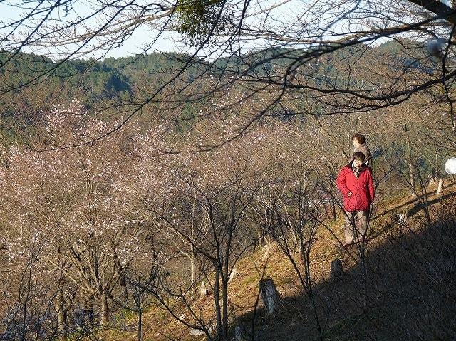 桜山公園冬桜のライトアップ2016冬桜7000本と紅 …