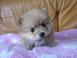 かわいいポメラニアン子犬更新しました