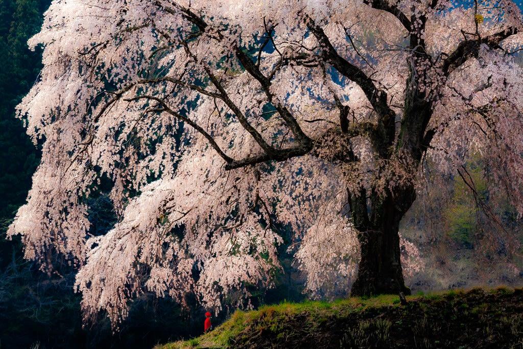 上発知のしだれ桜の写真