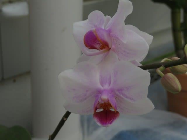 白を基調とした花弁が紅に染まる「ファレノプシス・サクラコ・ファレノ ...