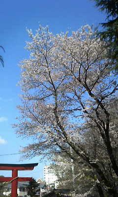 小諸、懐古園の桜