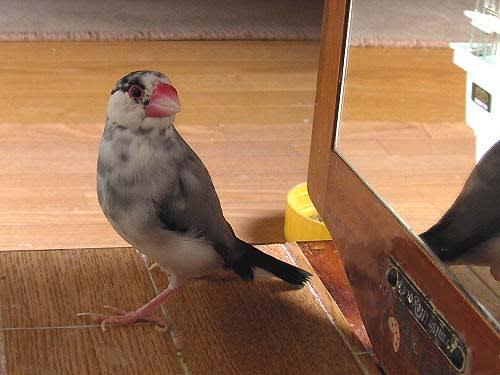 寿命 文鳥