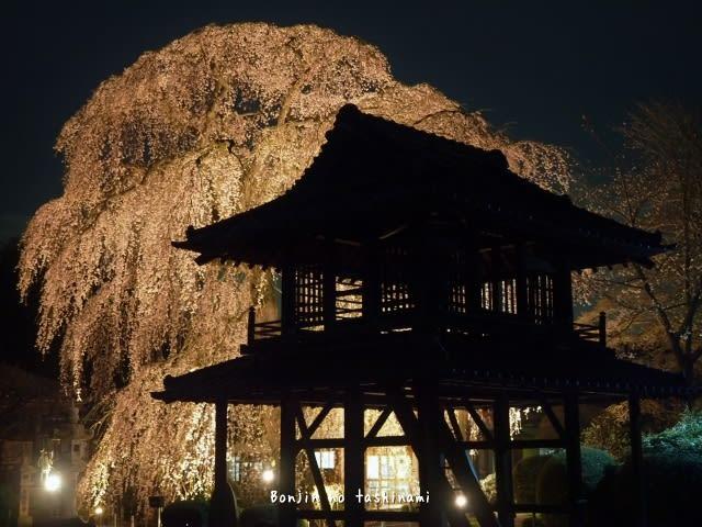 阿弥陀寺の夜桜 (那珂市) - 凡人の嗜み