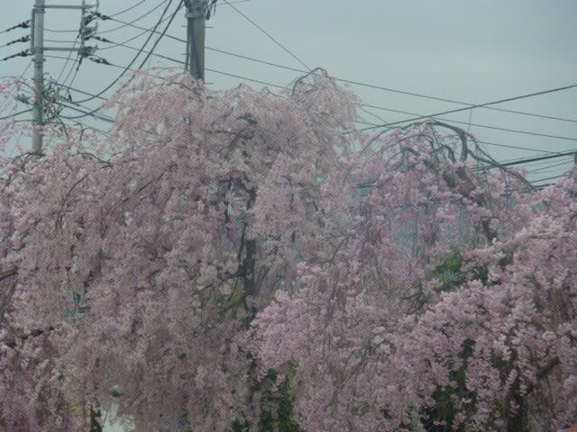 一足飛びに北上した桜 - Gallery...