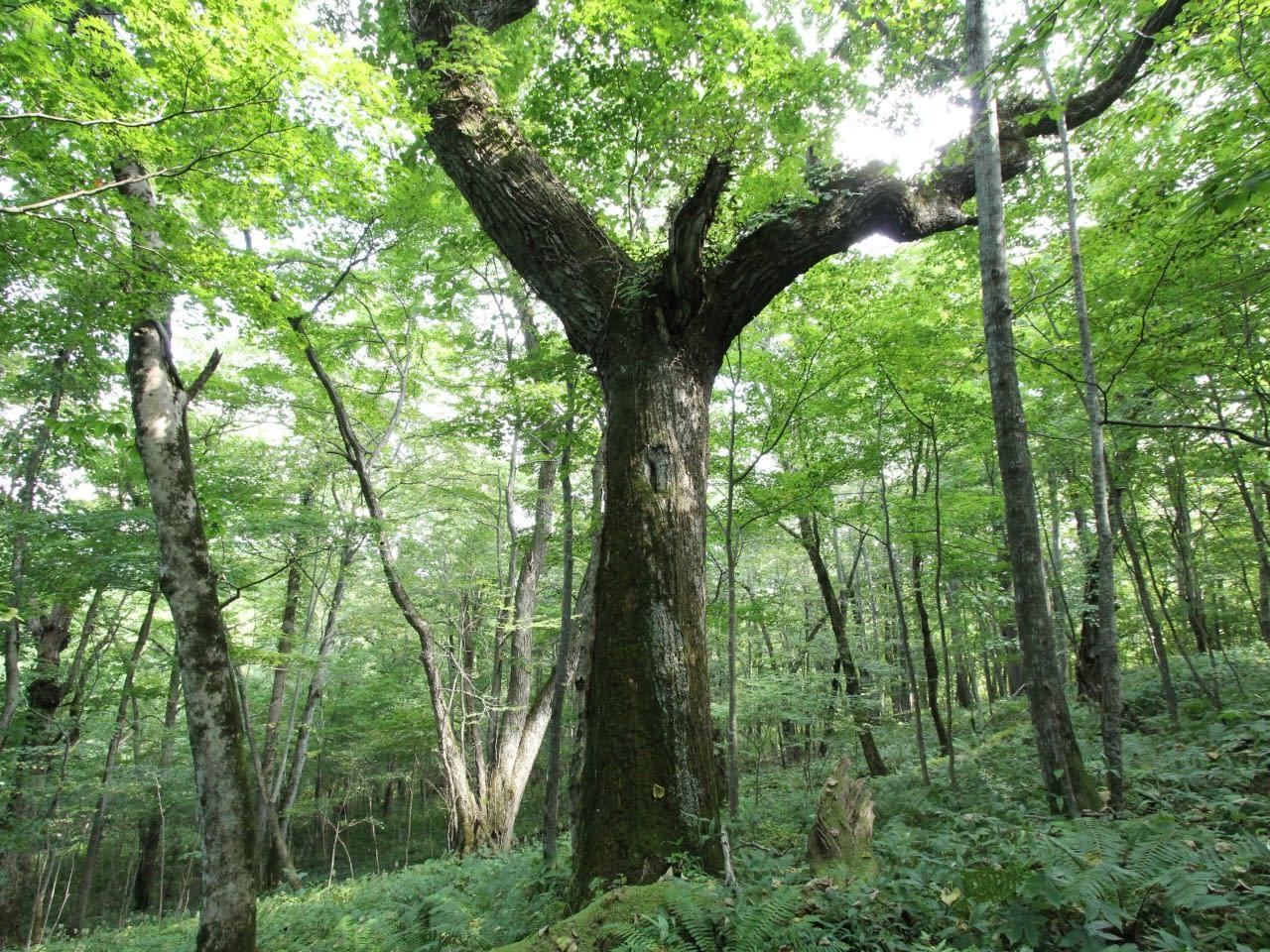 がんばれナラの木