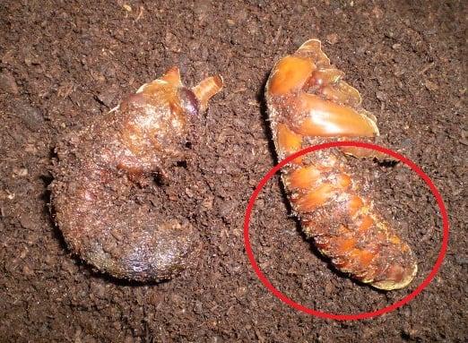 カブトムシ 蛹 カビ カブトムシ蛹(さなぎ)の期間&時期は?前兆や失敗した時の人工蛹室の...