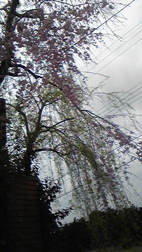 ハウスデラッセの桜も見頃