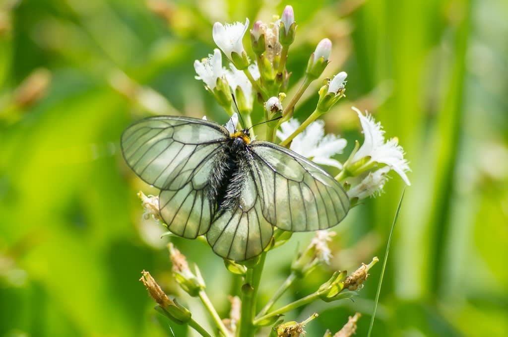ウスバシロチョウ(半黒化型)の写真
