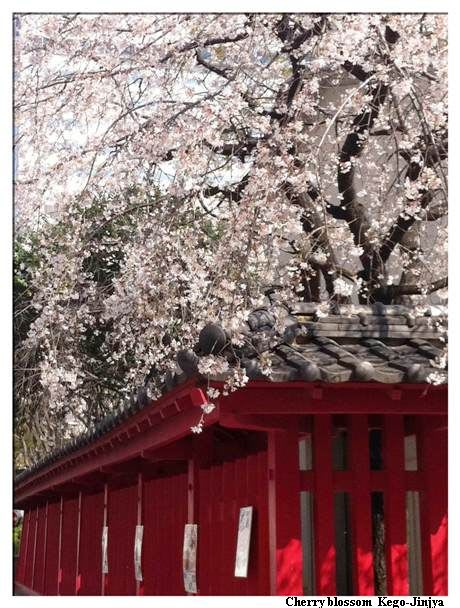 警固神社の桜