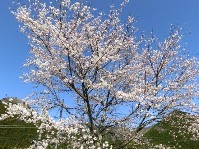 里の入口の桜