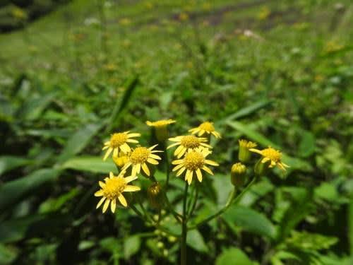 高ボッチ高原・鉢伏山で最近咲いている花 サワギク(沢菊)