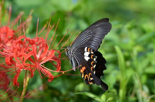 蝶々 黒い