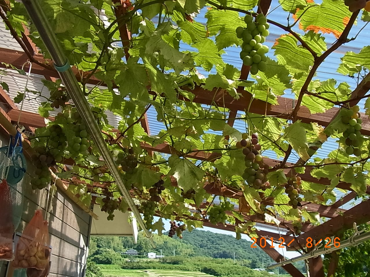 ウッドデッキ屋根下のブドウ棚