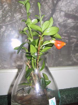 Goldfish-plant-2