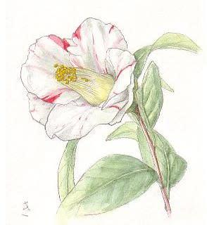 庭に咲いた椿の花イラスト 花を描いたポストカード