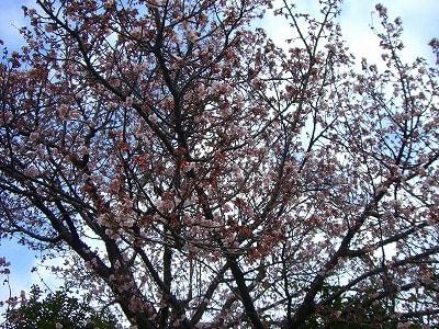 薄紅色の梅の大木