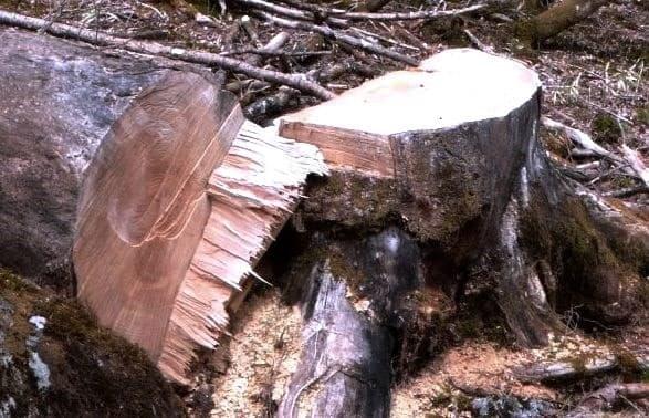 2017 05 03 伐られた 枯れ木。【わたしの里・日記】