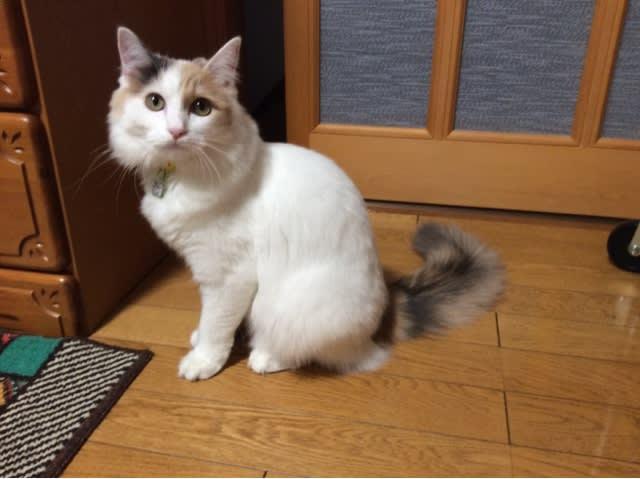 毛が長いので、なかなかお尻の穴がわからず💦 うちのネコ「シャーッ」と威嚇💦💦 無事熱を測り終え、平熱! 来週までこの調子だといいんだけどね。