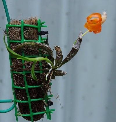 dd08926859844 株全体です。 バルブが小さいまま、この花がいっぱい咲いたらすごいです。 新しいバルブが、急激に育っています。  たぶん、この時期にしっかり水やりしてバルブを充実 ...