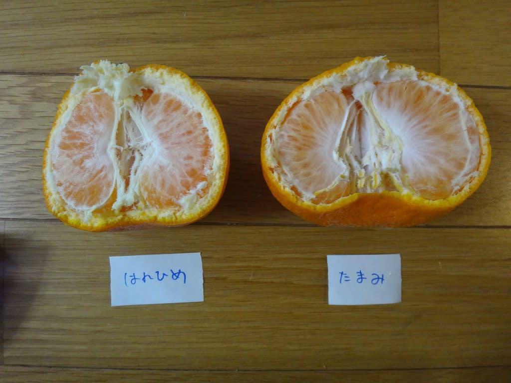 柑橘はれひめとたまみ